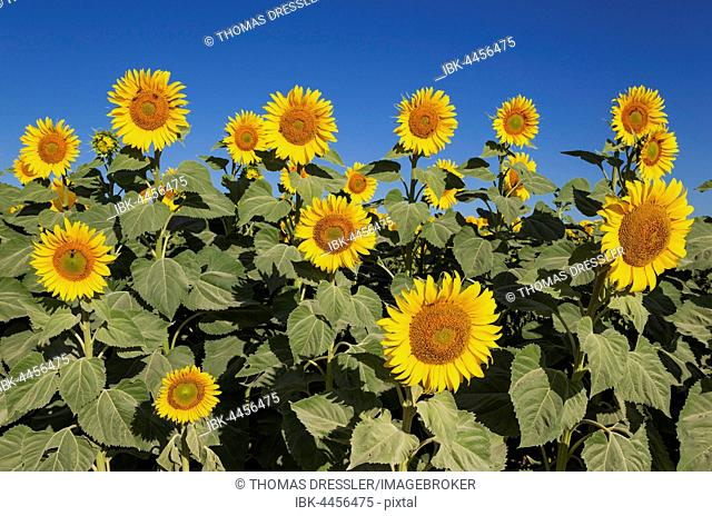 Sunflowers (Helianthus annuus), field, cultivations in the Campiña Cordobesa, Cordoba province, Andalusia, Spain