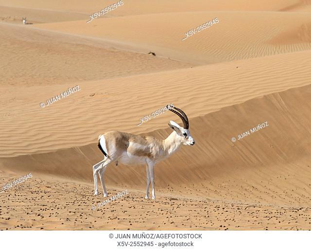 Marica Gazella subgutturosa. Arabian Desert. Al Maha Conservation Reserve. Dubai. United Arab Emirates