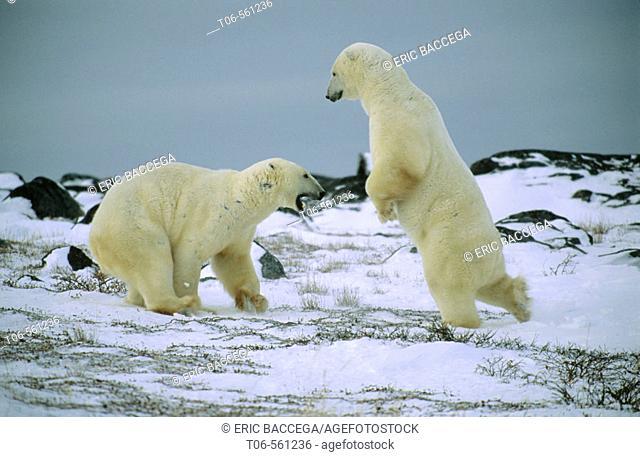 Polar bears play fighting (Ursus maritimus), Churchill, Manitoba, Canada