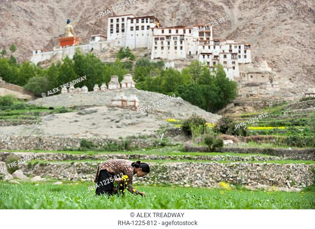 In the remote region a woman works in a wheat field with a view of Likir monastery in the distance, Ladakh, India, Asia
