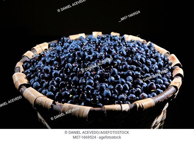 Black Rioja grapes, tempranillo variety, Rioja wine region, Spain, Europe