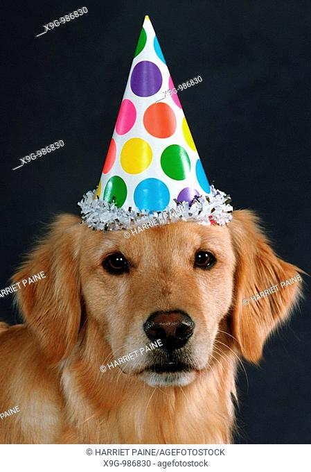 Golden Retriever with party hat