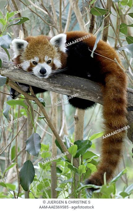 Red Panda (Ailurus fulgens fulgens), resting adult, Asia, native to China