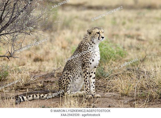 A sitting cheetah