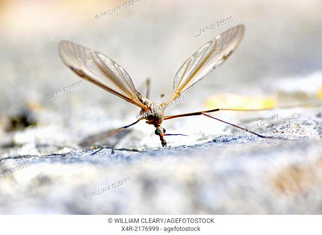 Crane Fly a member of the Tipulidae family. Also commonly referred to as 'Daddy Long Legs.'
