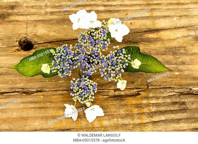 Hydrangea blossom, wooden background, close-up