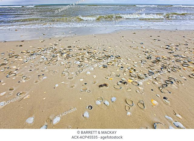 Clams, cockles and Bay Scallop shells on Beach, Island Beach State Park, New Jersey, United States of America