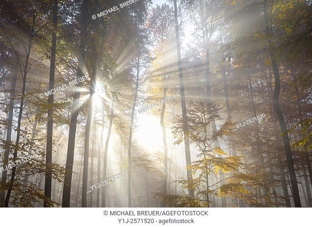 Sunbeams in beech forest in autumn, Fagus sylvatica, Spessart, Bavaria, Germany, Europe