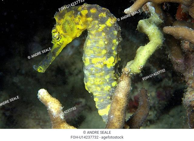 Tigertail seahorse, Hippocampus comes, male, Malapascua, Northern Cebu, Philippines, Visayan Sea