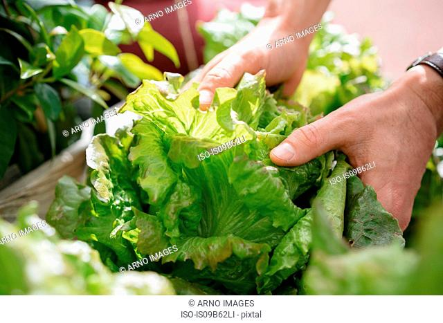 Young man picking lettuce from wooden trough, close-up