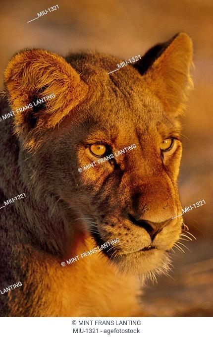Young lion, Panthera leo, Okavango Delta, Botswana