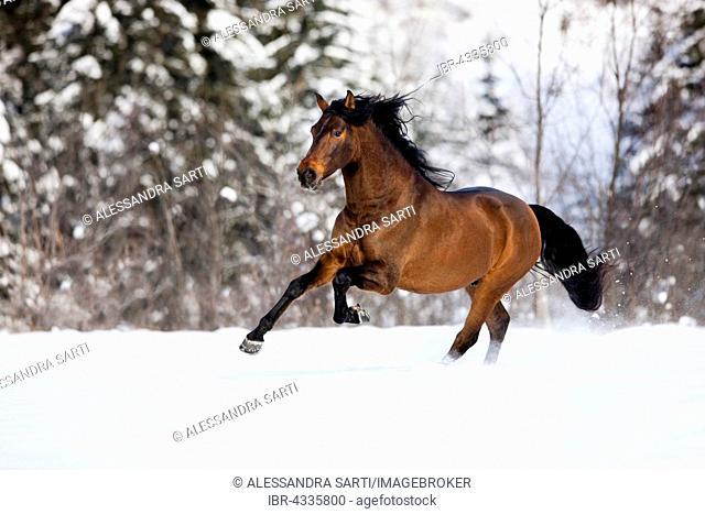 PRE brown horse galloping through the snow in winter, Austria