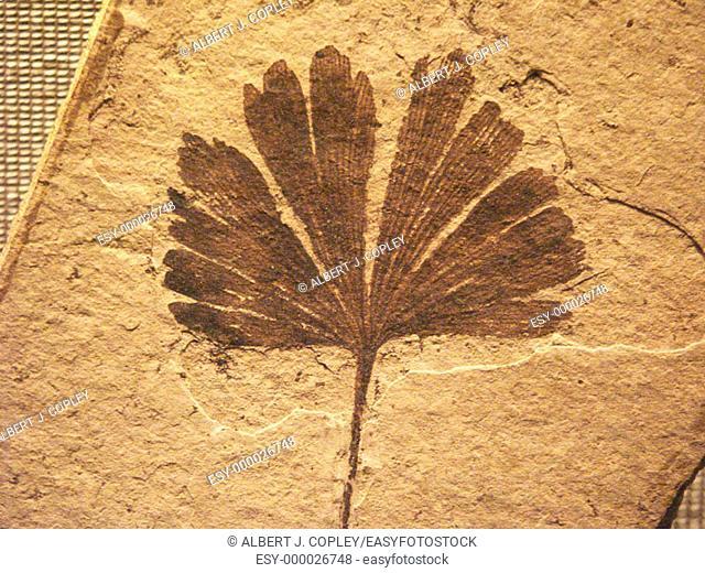Ginkgo fossil leaf