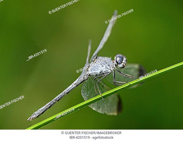 Neotropical dragonfly (Uracis fastigiata) male, skimmer (Libellulidae), Amazon rainforest, Yasuni National Park, Ecuador
