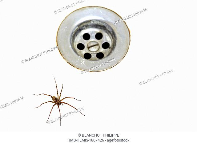 France, Pyrenees Atlantiques, Araneae, House spider (Tegenaria inermis) fallen and trapped in a washbasin