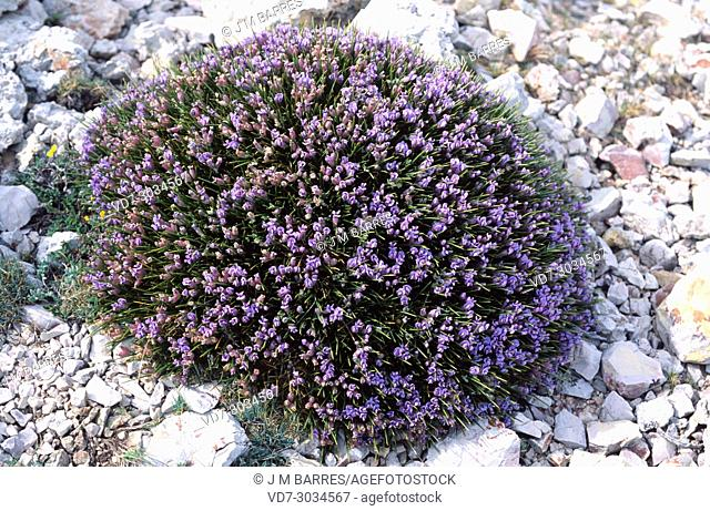 Blue broom (Erinacea anthyllis) is a spiny cushion-like shrub native to mountains of western and southern Spain and north Africa