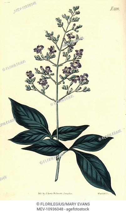 Three-leaved chaste tree, Vitex trifolia. . Handcoloured copperplate engraving drawn by John Curtis and engraved by Weddell from Curtis's Botanical Magazine