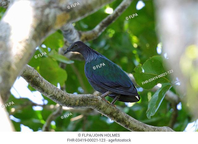 Nicobar Pigeon (Caloenas nicobarica) adult, perched on branch, Restorf Island, Kimbe Bay, West New Britain Province, New Britain, Bismarck Archipelago