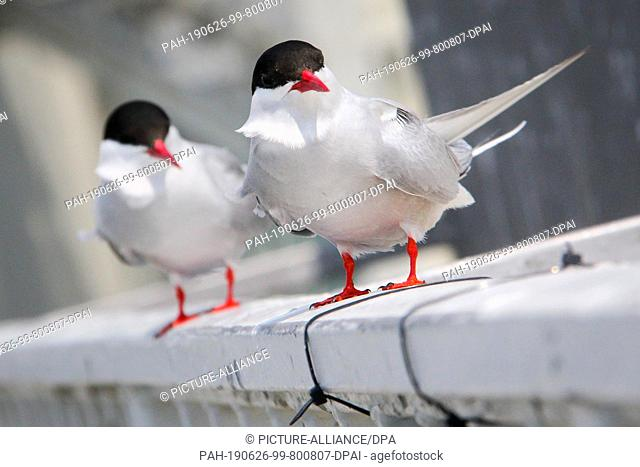 19 June 2019, Schleswig-Holstein, Wesselburenerkoog: Two terns sit on a railing at the Eider barrier. A colony of coastal and river terns currently attracts...