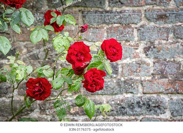 Red Roses, Castle Howard , Yorkshire, UK