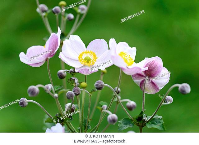 Japanese anemone, Japanese windflower, Chinese anemone (Anemone hupehensis, Anemone japonica var. hupehensis), blooming