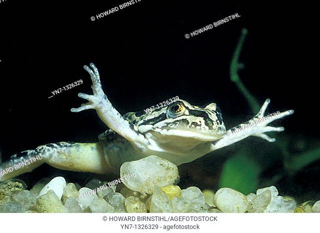 close up of frog  Limnodynastes tasmaniensis swimming underwater