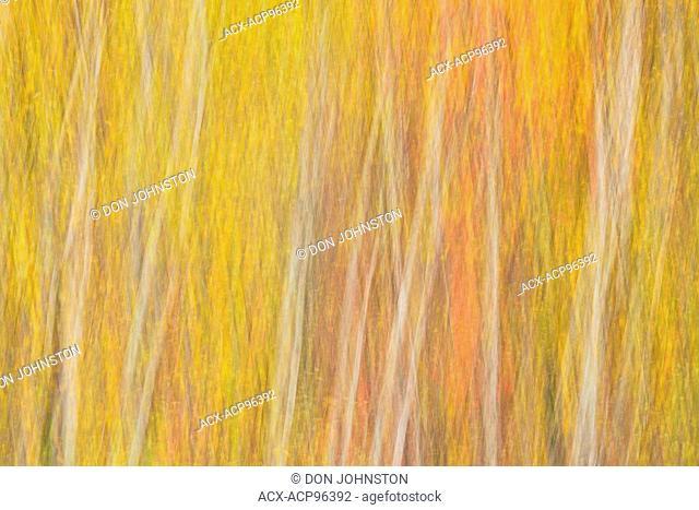 Autumn hardwood trees, camera pan, birch, aspen and maple, Greater Sudbury (Lively), Ontario, Canada