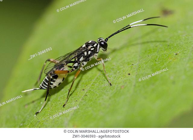 Ichneumon Wasp (Hymenoptera order, Apocrita sub-order, Ichneumonoidea superfamily, Ichneumon promissorius) on leaf, Klungkung, Bali, Indonesia