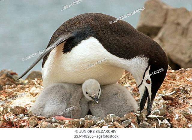 Chinstrap Penguin with two cubs - in nest / Pygoscelis antarctica