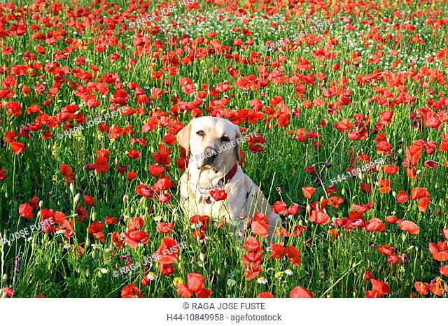 Spain, Europe, travel, Amapolas, poppy, field, Labrador dog, poppies, red, meadow, flowers, flowering, nature, pet