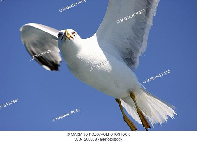 Flying Lesser black-backed gull in Istanbul, Larus fuscus, Turkey