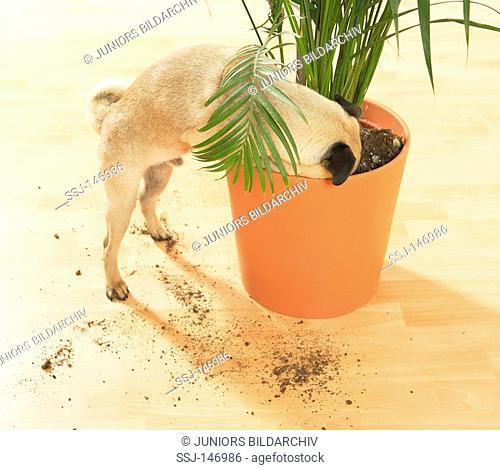bad habit: pug digging in flowerpot / restrictions: Tierratgeber-Bücher / animal guidebooks