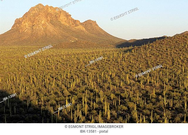 Valley with many Saguaro cacti at Ironwood National Monument