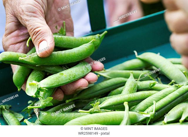 A person holding a handful of fresh picked garden pea pods