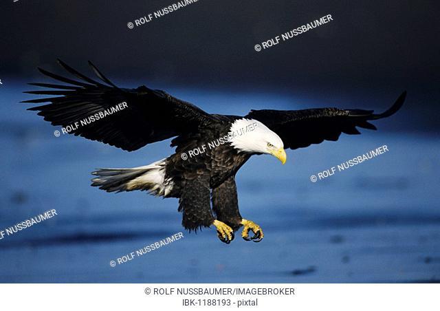 Bald Eagle (Haliaeetus leucocephalus), adult in flight, Homer, Alaska, USA