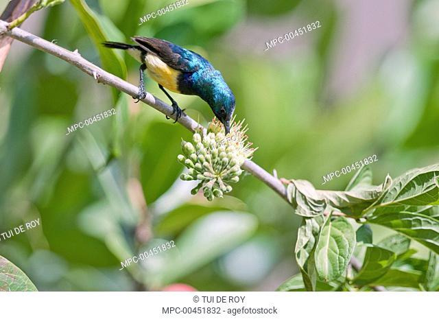 Variable Sunbird (Nectarinia venusta) feeding on nectar, Borana Ranch, Kenya