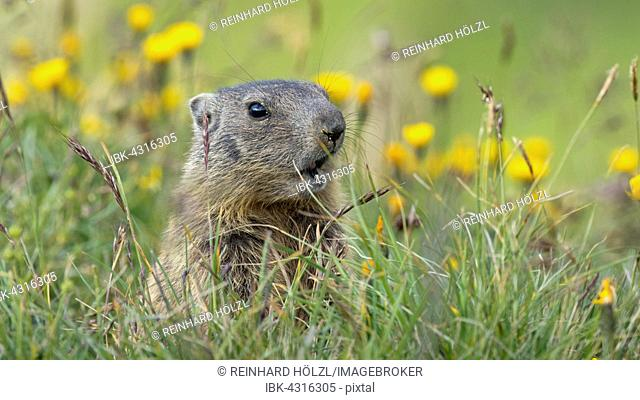 Alpine marmot (Marmota marmota), Offspring, Alp Trida, Samnaun, Canton of Grisons, Switzerland