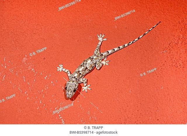 African house gecko (Hemidactylus mercatorius), sits on a red wall, Madagascar, Ankifi