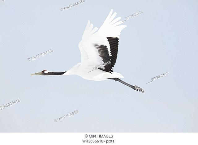 Red-Crowned Cranes, Grus japonensis, mid-air in winter