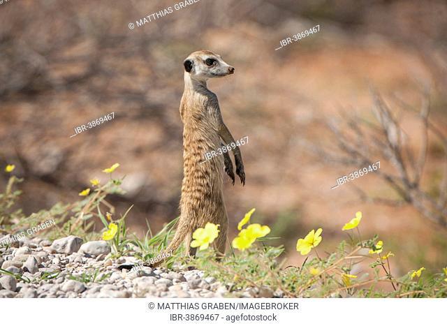 Meerkat (Suricata suricatta), Kgalagadi Transfrontier Park, Northern Cape, South Africa