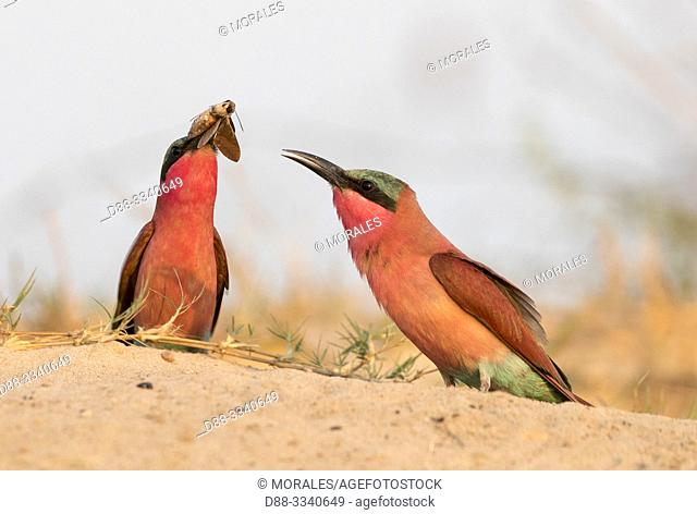 Southern Carmine Bee-eater (Merops nubicoides), on the ground, Zambezi River, Namibia, Africa