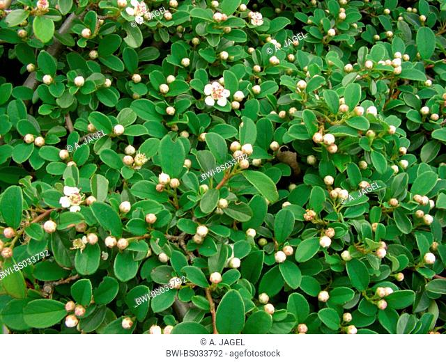 Bearberry Cotoneaster (Cotoneaster dammeri), flower and buds