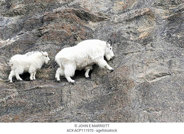 Mountain goat, Jasper National Park, Alberta, Canada