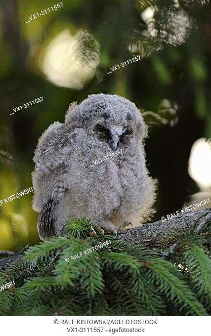 Long-eared Owl / Waldohreule (Asio otus), little fledgling, sleeps over day in a conifer, looks quite funny