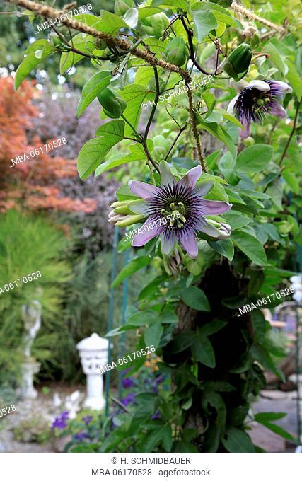 Passiflora caerulea, Passiflora caerulea, flowers, climber