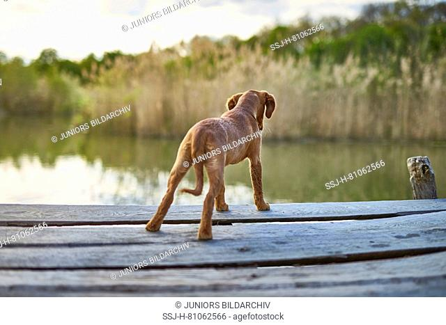 Golden Retriever. Puppy standing on a jetty, looking into the water. Germany