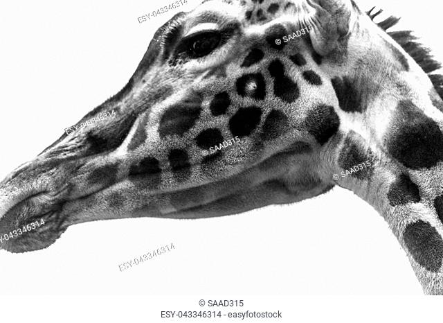 close-up photo of a giraffe