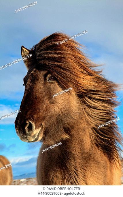 Europe, Island, Iceland horses, Myvatn, horses, mammals, animals, volcano island, winter