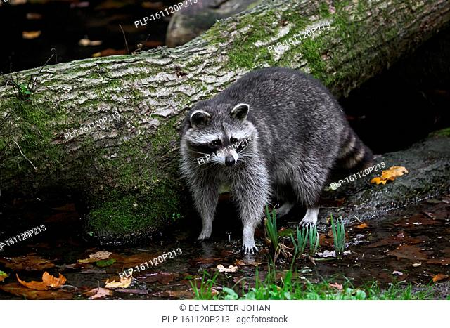 North American raccoon (Procyon lotor), native to North America, drinking water from brook in forest