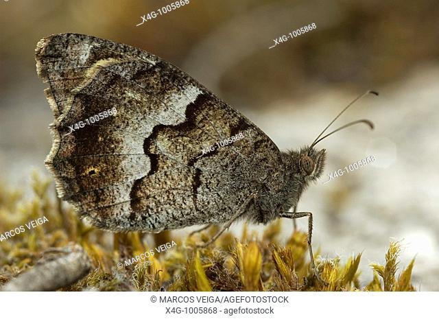 Mariposa sátiro moreno, Tree Grayling butterfly, Hipparchia statilinus  Pontevedra, España